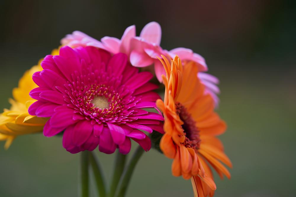 Gerbera: cum o plantezi, sfaturi utile pentru îngrijire și înflorire